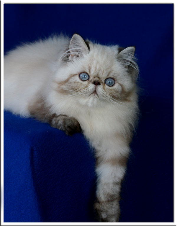 welcome to lesami cat breeders w